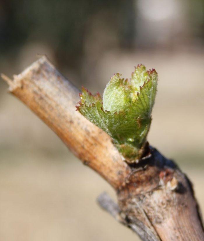 Vigne printemps IMG_3547_2 gigondas