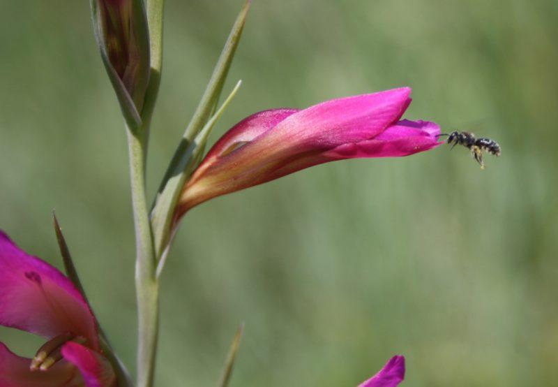 Glaieul biodiversité