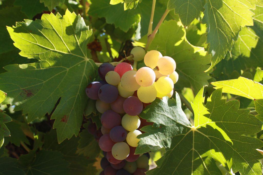 Véraison IMG_8238 vigne été