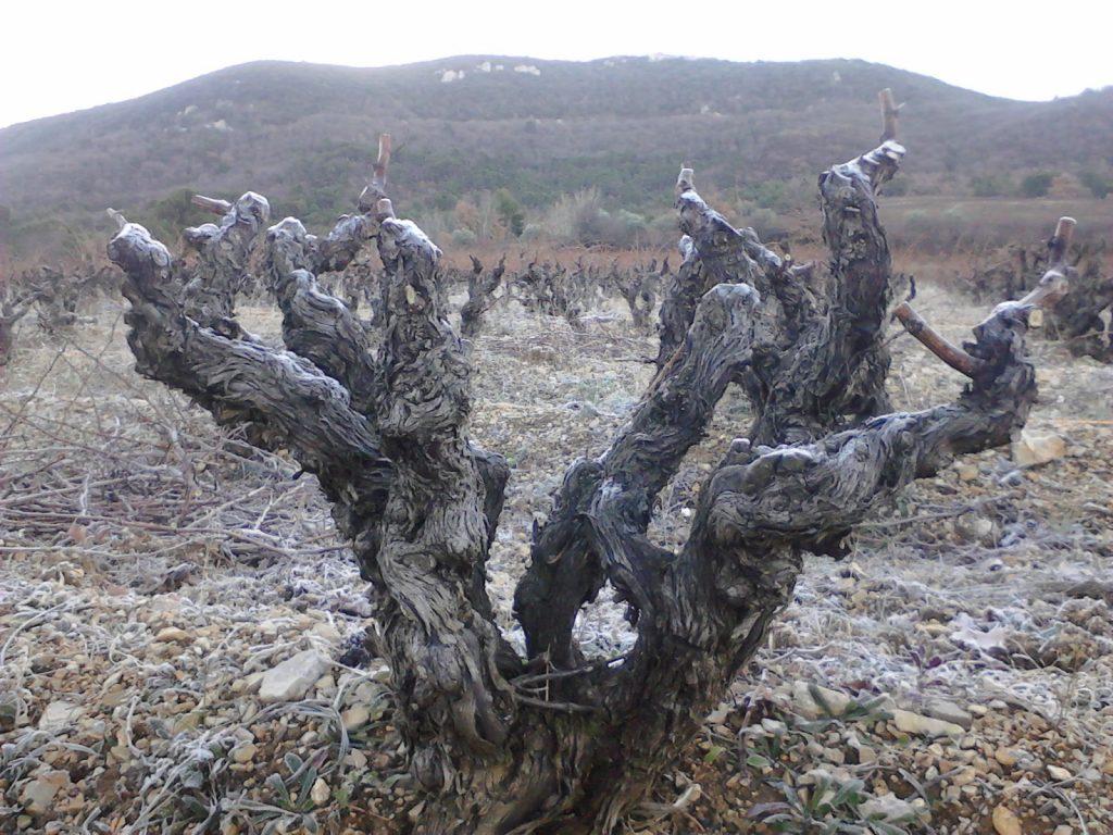 taille vigne hiver gobelet