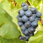 Cinsault Grape variety