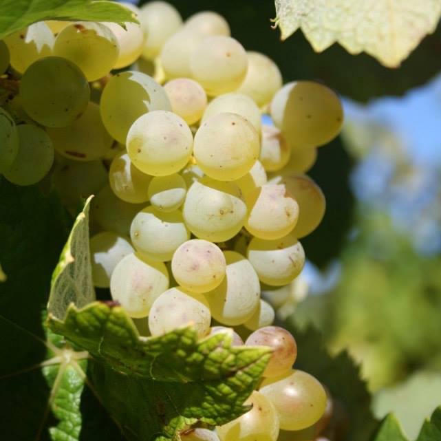 Clairette Grape variety