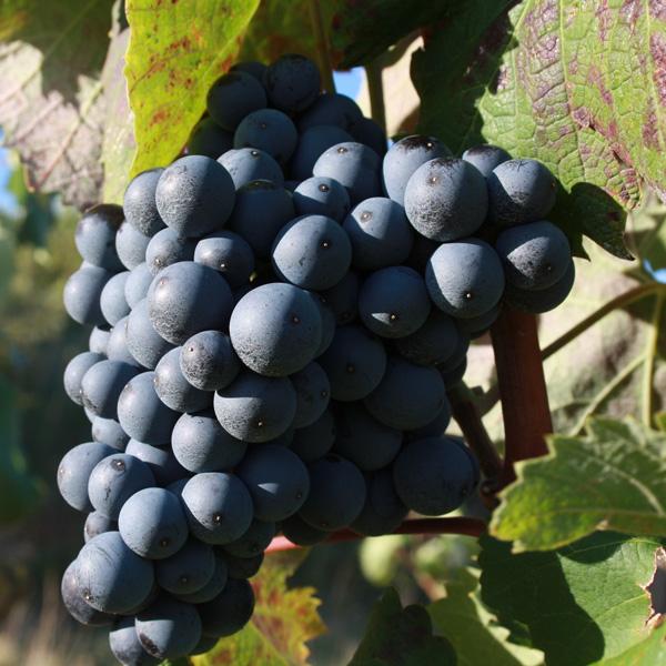 Mourvèdre Grape variety