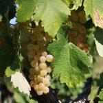 Roussanne Grape variety