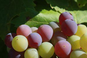 Véraison IMG_8236 vigne été