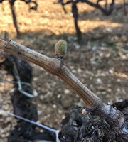 vigne printemps 2019