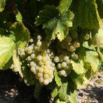 White Grenache Grape variety