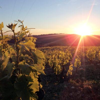 coucher de soleil sur les vignes