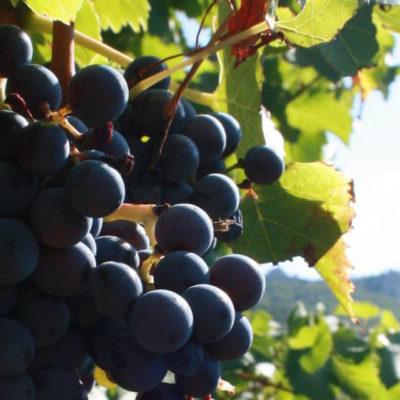 Grenache Grape variety