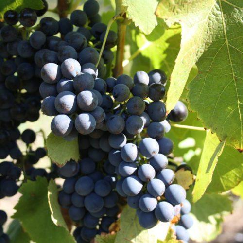 Syrah Grape variety